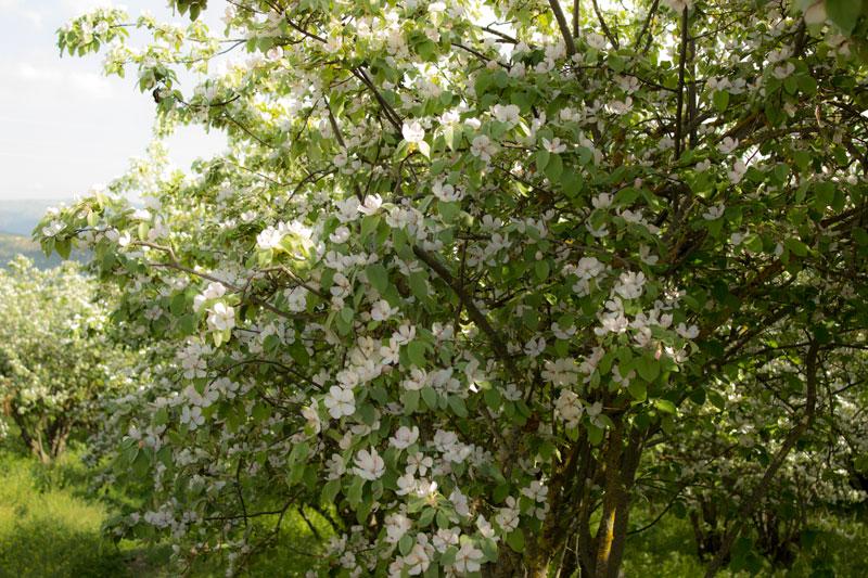 La flor del membrillo casateli - Membrillo arbol ...